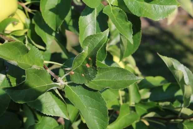 Opadzina liści - choroba jabłoni charakterystyczna dla okresu późnej wiosny