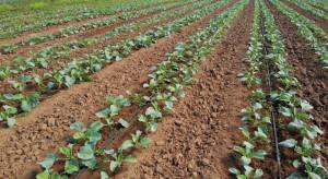 Tantniś krzyżowiaczek – kontrola upraw po wysadzeniu rozsady
