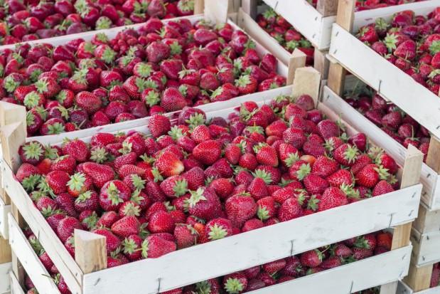 KOWR skontroluje punkty skupu owoców