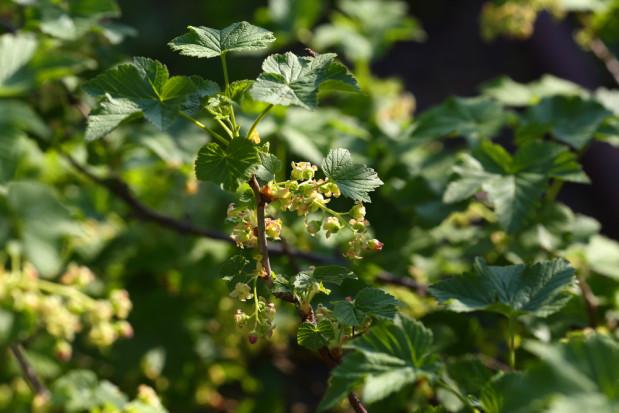 Słabe kwitnienie czarnej porzeczki z powodu przymrozków i suszy