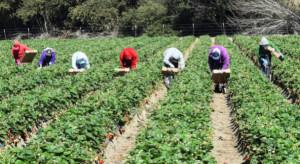 Pracownicy sezonowi w rolnictwie będą mieli wykonywany test w systemie Drive Thru