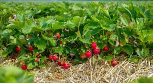 Chłodna wiosna opóźniła dojrzewanie truskawek