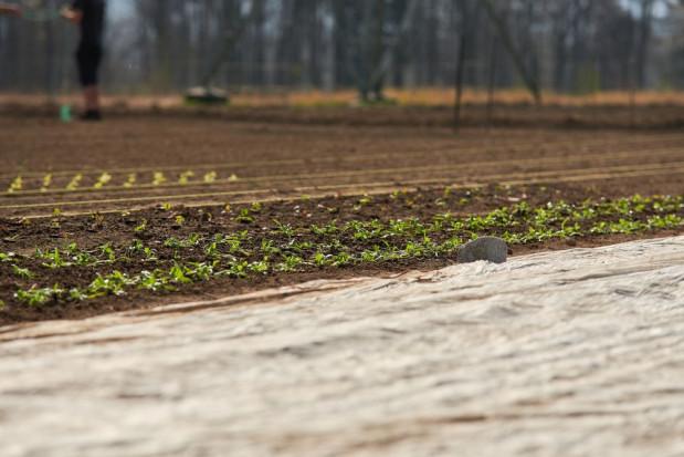 GUS: Wschody warzyw przebiegały na ogół w niesprzyjających warunkach