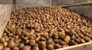 Straty w przechowywanych warzywach na poziomie zbliżonym do roku ub.