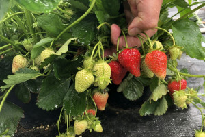 Truskawka powtarzająca w drugim roku uprawy – szanse i zagrożenia (zdjęcia)