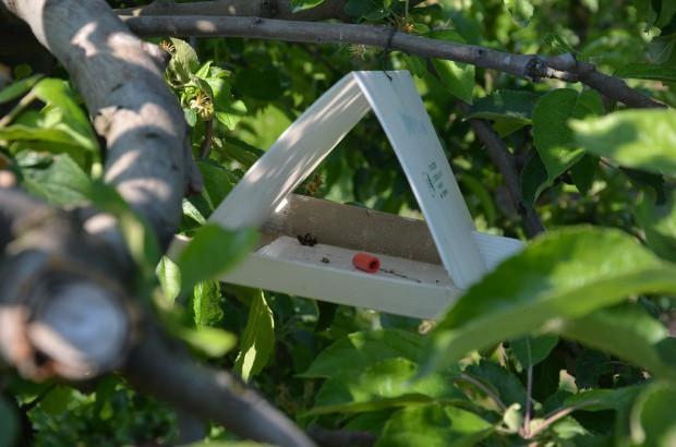 Monitoring i zwalczanie owocówki jabłkóweczki