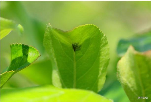 Wciąż wysokie zagrożeniem parchem jabłoni. Jaka strategia ochrony? (zdjęcia)