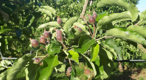 Bawełnica, skorupik, przędziorek, pordzewiacz – jak walczyć ze szkodnikami jabłoni w czerwcu?