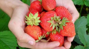 Pięć złotych za kilogram truskawek - trzeba przyjechać i samemu zebrać owoce