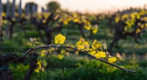 Podkarpacie: Majowe przymrozki ograniczą tegoroczne zbiory w winnicach