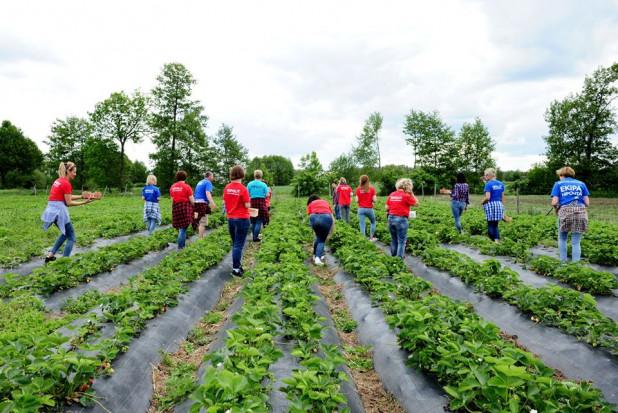 Środa Wlkp.: Nauczyciele z Hipolit CKZiU pomogli w zbiorach truskawek