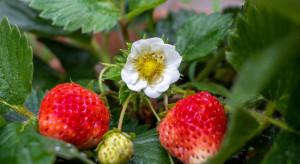 Szara pleśń w uprawie  truskawki – korzystne warunki do rozwoju