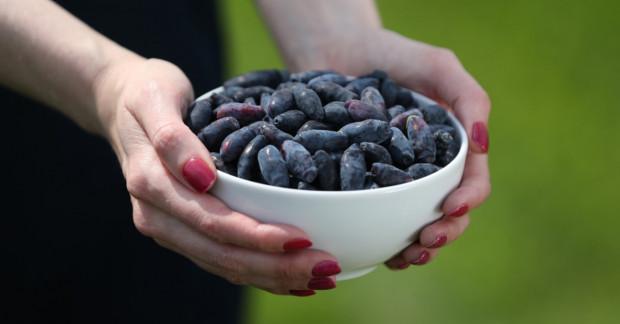 27 plantacji jagody kamczackiej otwiera swoje podwoje dla zwiedzających