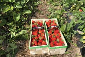 """Zabiegi wzmacniające mechanicznie owoce truskawki i poprawiające """"shelf life"""" (zdjęcia)"""