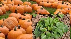 Molak Pumpkin: Zainteresowanie dynią rośnie; rozszerzamy ofertę także o nowe warzywa