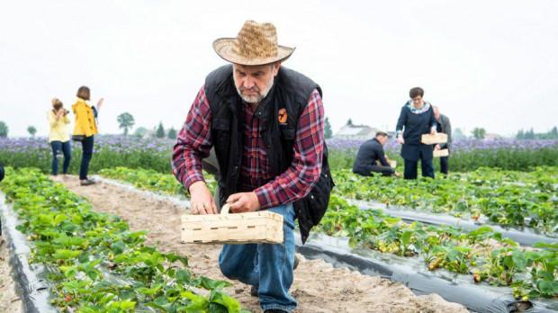 Minister Ardanowski pomagał przy zbiorze truskawek