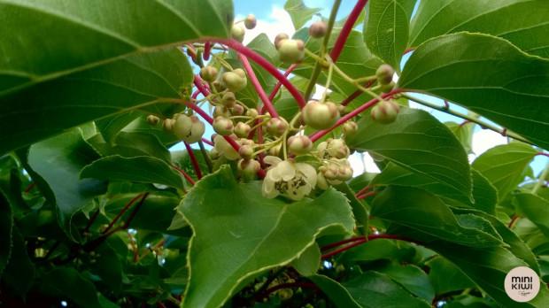 Rozpoczęło się kwitnienie MiniKiwi. Powinno potrwać do około tygodnia (zdjęcia)