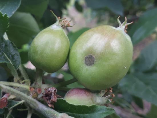 Parch jabłoni – bardzo trudny sezon