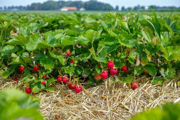 Trudny sezon truskawkowy w Świętokrzyskim. Plantatorzy mogą stracić część plonów