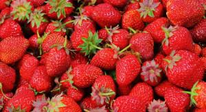 Eksperci: sezon truskawkowy w pełni; owoce gorszej jakości i tańsze niż rok temu