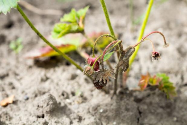 IUNG: susza rolnicza w 11 województwach