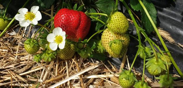 Nasila się problem z szarą pleśnią i innymi chorobami w uprawie truskawek