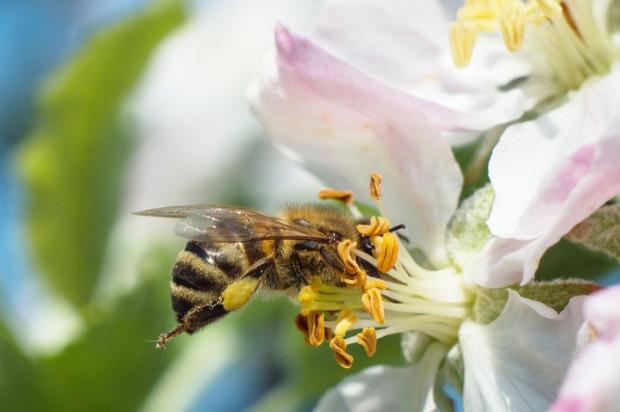 PZP: Pszczelarze powinni otrzymywać ekwiwalent finansowy za pracę pszczół
