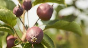 Nawożenie sadów po opadzie czerwcowym