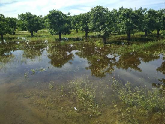 Pogoda nie oszczędza sadowników. Podtopione sady na Mazowszu (zdjęcia)