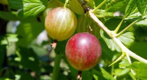 KRIR interweniuje ws. niskich cen skupu owoców miękkich