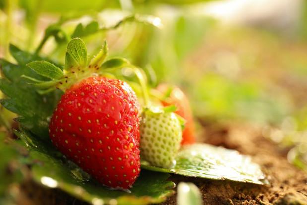 Deszczowa pogoda nie sprzyja dojrzewaniu truskawek