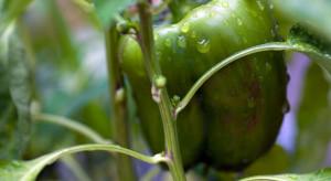 Produkcja warzyw mocno ucierpiała z powodu deszczy i podtopień. Wzrosło nasilenie chorób grzybowych