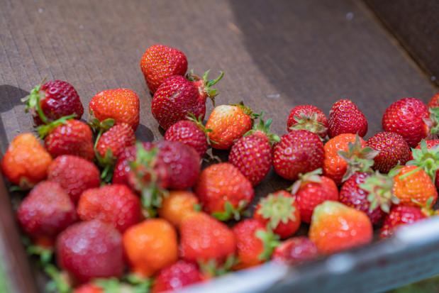 Mazowsze: Spadają ceny skupu truskawek