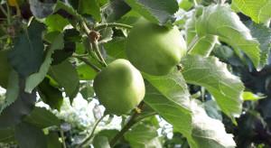 Deszczowa pogoda utrudniła ochronę przeciw owocówce jabłkóweczce