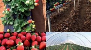 Limvalnera – odmiana truskawki z programu hodowlanego Limgroup
