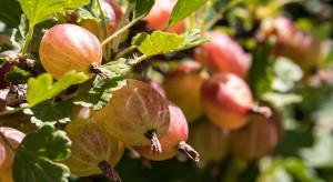 UOKiK sprawdzi czy nie doszło do zmowy cenowej na rynku owoców miękkich