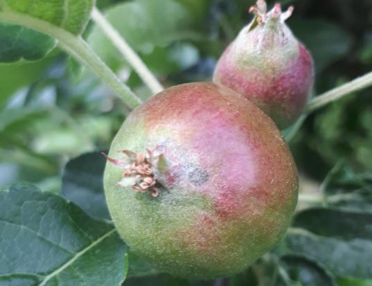Infekcje wtórne parcha jabłoni – kontynuacja ochrony sadu