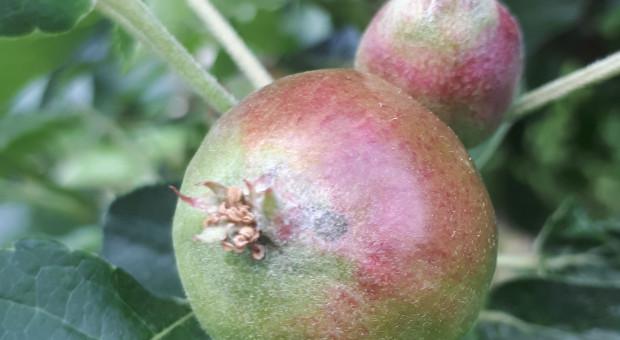Infekcje wtórne parcha jabłoni – kontynuacja ochrony