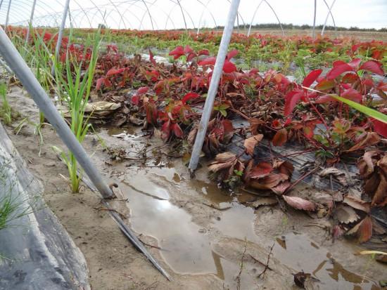 Zabiegi regenerujące system korzeniowy truskawek po intensywnych opadach deszczu (zdjęcia)