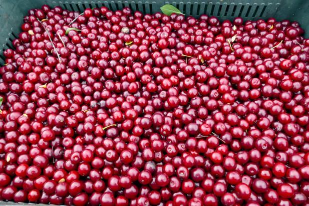Rusza skup wiśni na Mazowszu - jakie ceny?