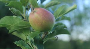Przędziorki w sadach – ważne są umiejętne i regularne lustracje drzew