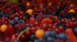 Sezon jagodowy 2020: Będzie problem z jakością owoców