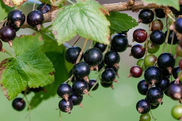 Czarne porzeczki 2020: Podaż owoców raczej nie zaspokoi potrzeb przemysłu przetwórczego