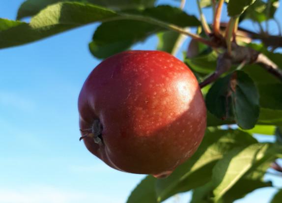 Pozakorzeniowe dokarmianie owoców wapniem