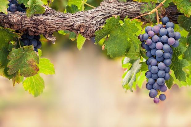 KOWR: Do 15 lipca można składać wnioski o wpis do ewidencji przedsiębiorców wyrabiających wino