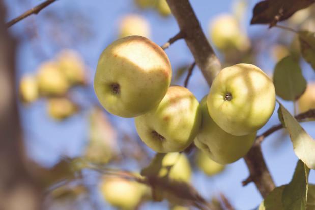 Prognozy dla produkcji jabłek - spadki na półkuli południowej, w Chinach i USA