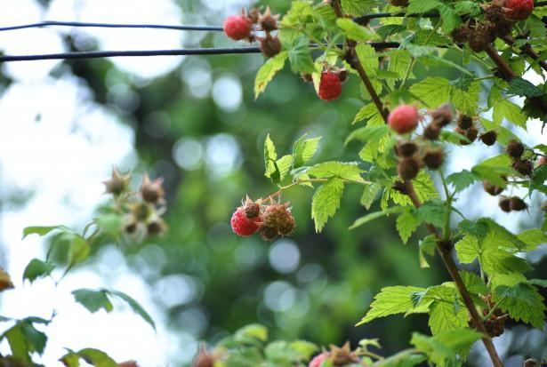 """Wysokie ceny malin """"zachęcają"""" do kradzieży owoców z pól"""