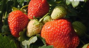 Film o truskawkach z okolic Czerwińska promuje ofertę rynku w Broniszach (wideo)