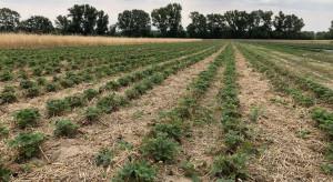 Agrotechnika po zbiorach truskawek. Koszenie liści i nawożenie dokorzeniowe (zdjęcia)