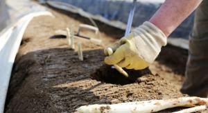 Niemcy: zbiory szparagów mniejsze o 1/5. To przez brak pracowników z zagranicy